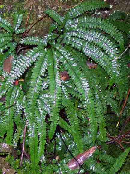 Адиантум мелкоопушенный: фото, уход, размножение
