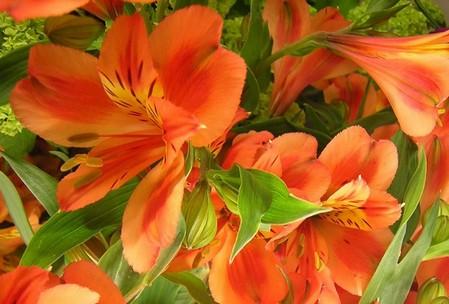 Альстромерия оранжевая: фото, уход, размножение и пересадка