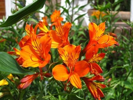 Альстромерия оранжевая фото