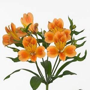 как выглядит Альстромерия оранжевая