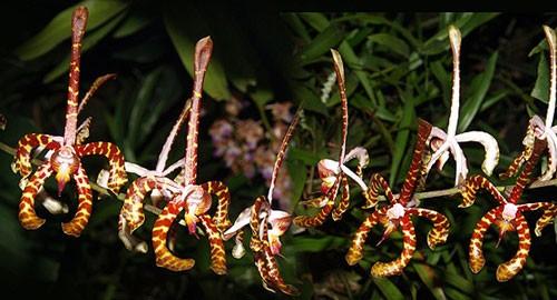 Анзеллия: уход, фото, размножение и полив
