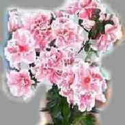 Азалия Рододендрон: уход, болезни, фото, размножение