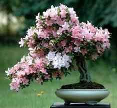 Азалия (Рододендрон)фото