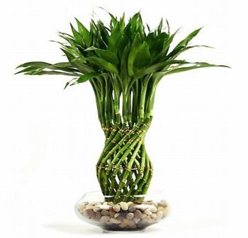 Бамбук: уход, полив, фото, пересадка, размножение