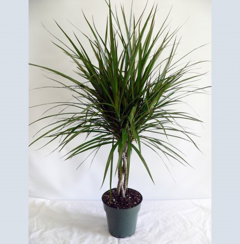 Драконовое дерево: уход, фото, размножение, вредители
