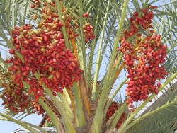 Финиковая пальма: уход, полив, фото, размножение
