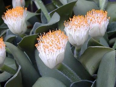 Гемантус белоцветковый: фото, уход, размножение и пересадка