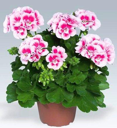 Люблю Цветы - Магазин рассады цветов в Барнауле ...
