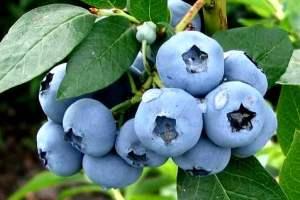Голубика: уход, фото, полив, размножение