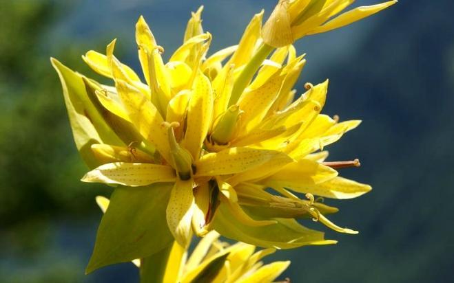 Горечавка жёлтая: фото, виды и уход в домашних условиях