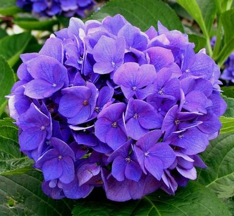 Гортензия садовая: уход, фото, размножение, полив