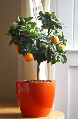 Грейпфрут комнатный фото