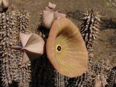 Гудия: описание, уход, размножение, фото