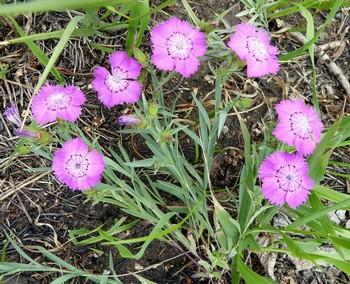 Гвоздика травянка: уход, болезни, фото