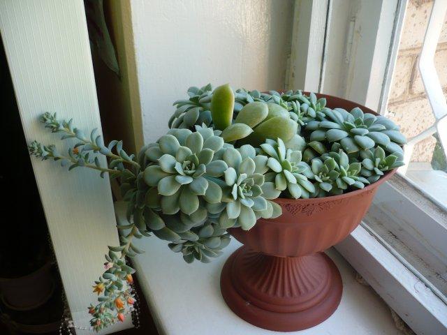 каменная роза цветок фото уход в домашних