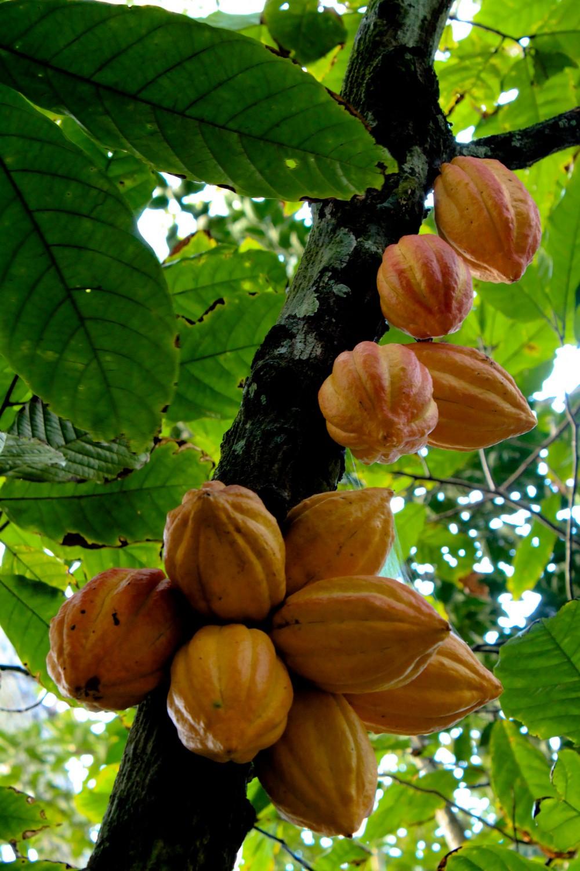 Какао: уход, полив, фото, пересадка и размножение