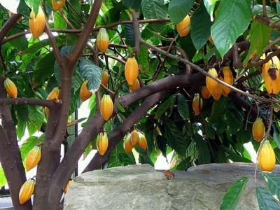 Фото Какао, как выглядит Какао