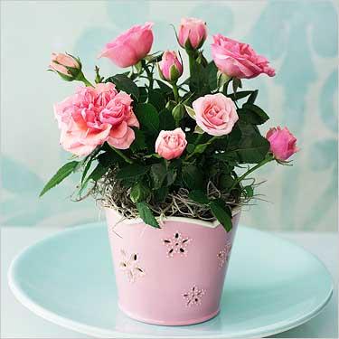 Карликовая роза фото