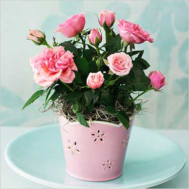 Карликовая роза: фото, виды и уход в домашних условиях за розой