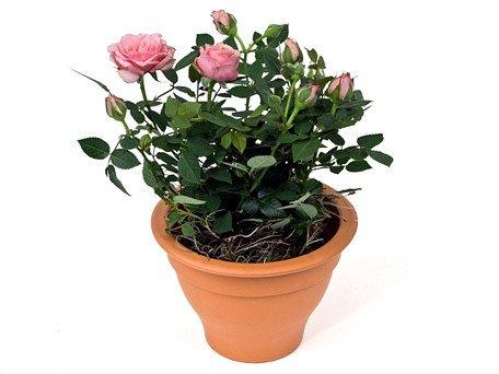 как выглядит Карликовая роза