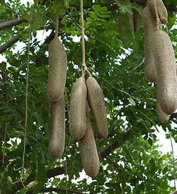 Кигелия: уход, полив и размножение в домашних условиях