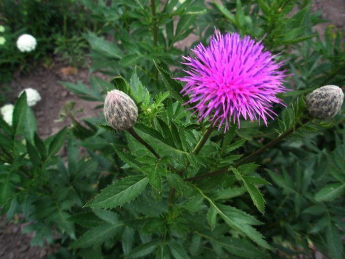 Левзея сафлоровидная: уход, полив, фото, размножение