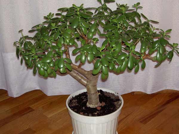 Монетное дерево: фото, уход, размножение и пересадка
