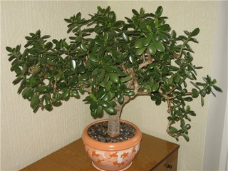 Монетное дерево фото