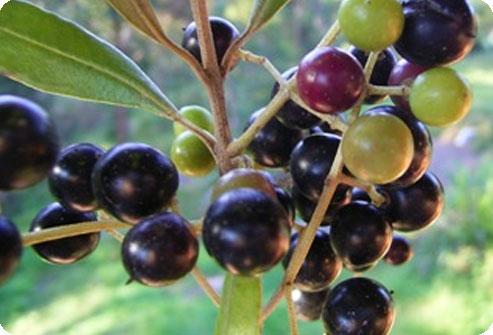 Олива европейская: уход, полив, фото, размножение