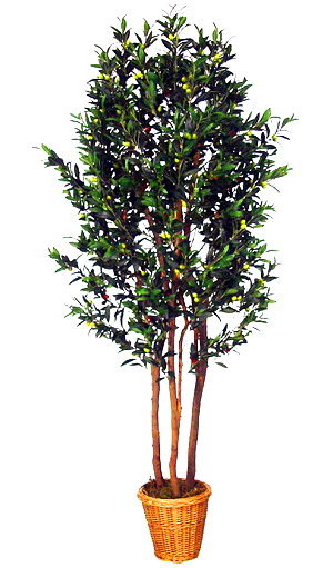 Оливковое дерево: уход, полив, фото, размножение