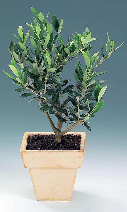 как выглядит Оливковое дерево