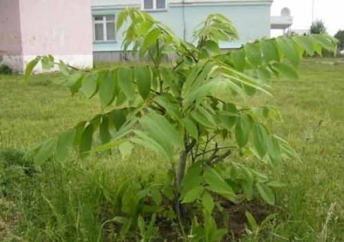Орех маньчжурский: уход, фото, полив, вредители