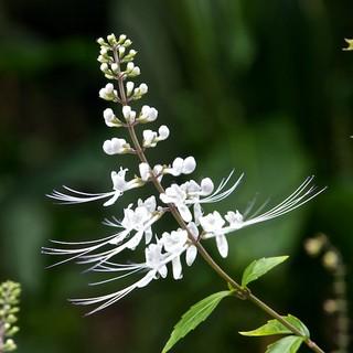 Ортосифон: уход, фото, размножение, полив