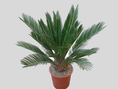 Комнатная пальма: уход, полив, фото, размножение