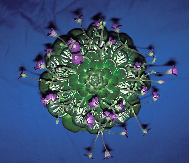 Петрокосмея: уход, фото, виды и болезни