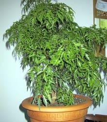 Полисциас кустарниковый: уход, фото, размножение