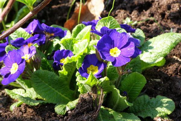 Примула садовая: особенности ухода, фото, размножение
