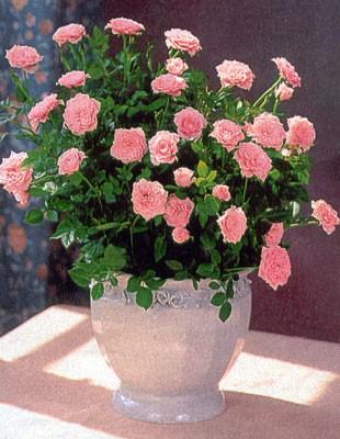 Роза миниатюрная: уход, фото, размножение