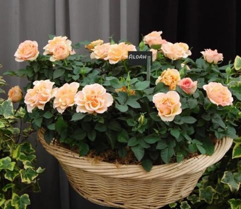 Роза миниатюрная фото