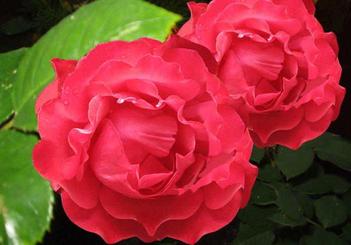Роза садовая: уход, фото, полив, размножение