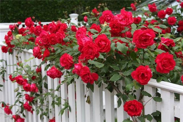 как выглядит Роза садовая