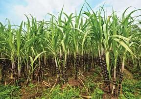 Сахарный тростник: фото, уход, размножение и пересадка