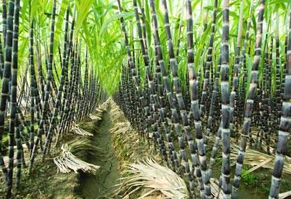 как выглядит Сахарный тростник