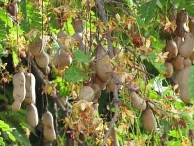 Тамаринд: описание, уход, размножение и полив