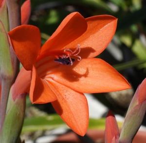 Ватсония: фото, описание, уход, размножение