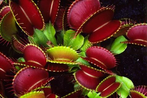 Венерина мухоловка: уход, полив, фото, размножение, подкормка