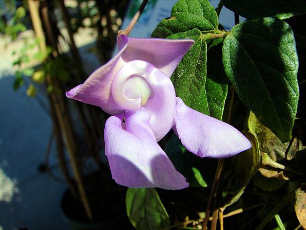 Вигна каракалла: фото, уход, размножение и пересадка