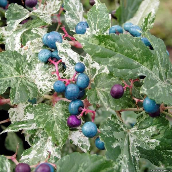 Виноградовник: описание, уход, размножение