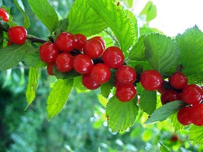 Войлочная вишня: уход, фото, размножение, полив