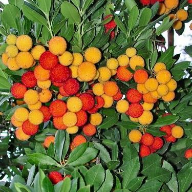 Земляничное дерево: уход, полив, фото, размножение
